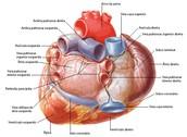 Anatomia Externa