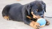 my puppy rottweiler