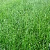 Fescue grass picture