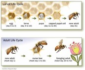 """19. Interpret this quote. """"If the bee disappeared off the face of the Earth, man would only have 4 years left to live.""""  Maurice Maeterlinck, The Life of the Bee"""