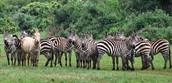 Poblacion de cebras