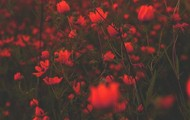 Red Flowers ♥