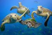 warmer oceans  will effect the turtle nesting