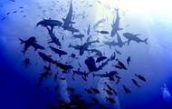 Sharks swarming