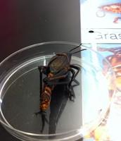 Grasshopper- Tail End