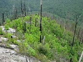 The Princess Tree is all that grows in this forest after a fire. This prevents other plants from growing back.