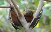 Dawn Bat