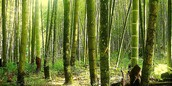 Bamboo's scientific name and its family.