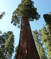 California State Tree