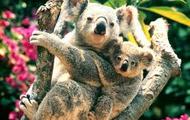 Where do koalas live