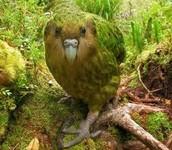 kakapo parrot: