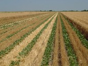 Double-Cropping in Farmland