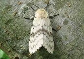 Female Gypsy Moth.