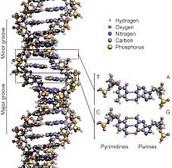 DNA (Polymer)