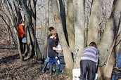 Experience collecting sap from maple trees!
