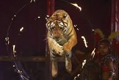Animals are forced to perform in circuses