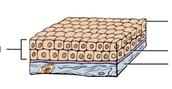 Stratified Cuboidal
