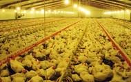 Chicken Sheds