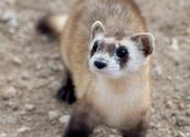 Black-footed ferret: Near Extinction (C)