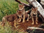 wolf pups hiding