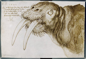 Durers Walrus