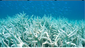 Bleached coral reefs