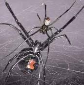 Black Widow webbing