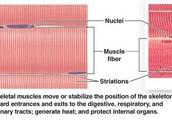 Skeletal Muscle Cells