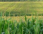 #1 cash crop of Iowa