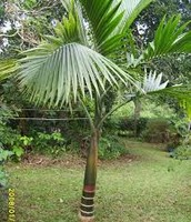 Champagne Palm