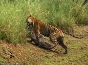 Tigers Food