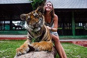 Interact with our friendly tigers!