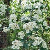 Missouri's state floweri