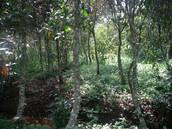 Cinchona Trees