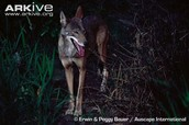 Red wolf looking for food