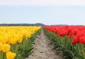 Sunday, April 14, Skagit Valley Tulip Festival!