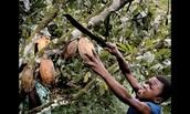 Boy Harvesting Cocoa