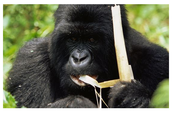 A gorilla eating bark from a tree