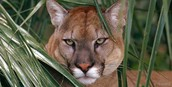 Let's learn about the Florida Panther!