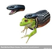 The Red Bellied Black snake is eating a frog