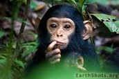 A baby chimapnzee