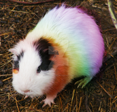 Hey colorful Guinea pig wow....