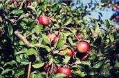 Apple Berry Farm