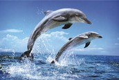 Dolphins In The Blue Sea