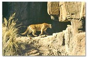 This is a cougar