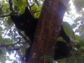 Чернышка на дереве.