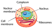 animal cell nuclear membrane