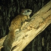 The Carolina Northern Flying Squirrel