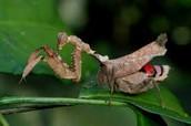 praying mantis-Mantodea