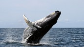 Whales are being killed for their meat